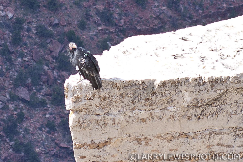 California_Condor02.jpg