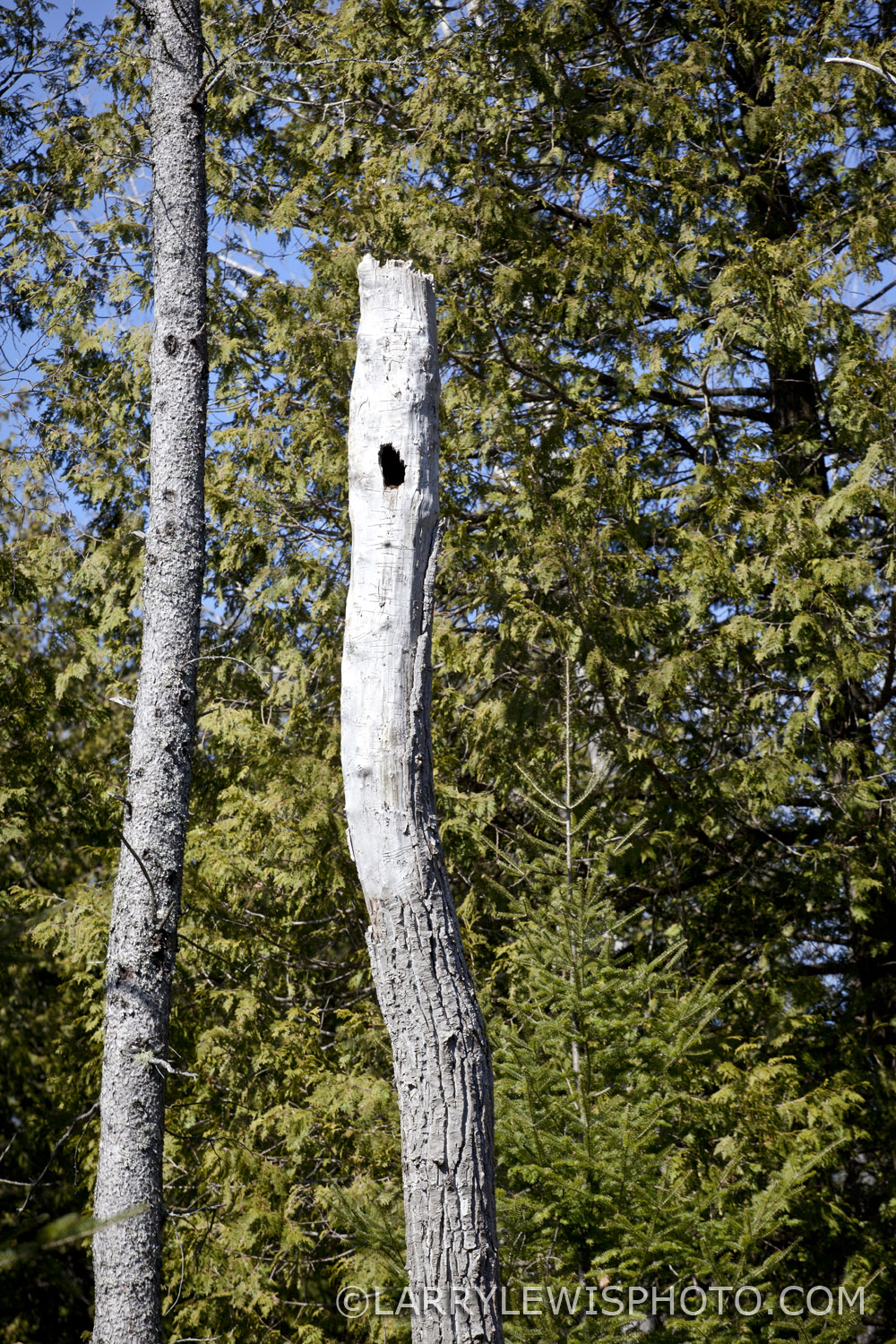 No Pileated Woodpecker here!