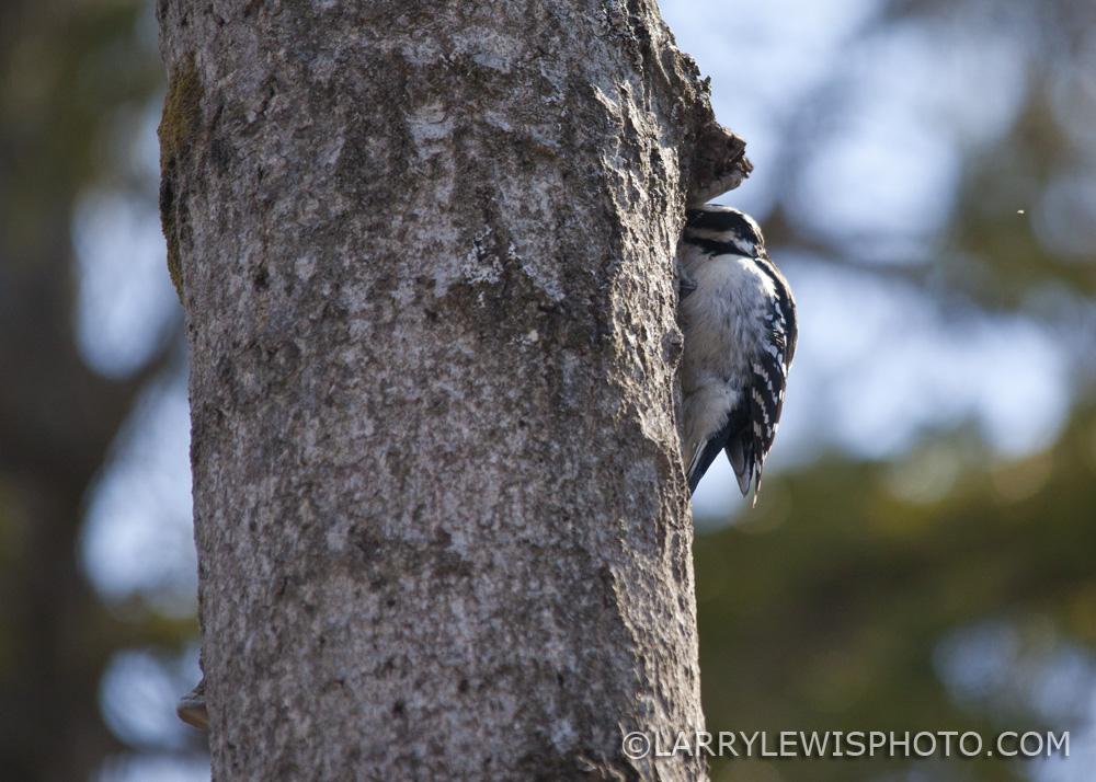 Downy_Woodpecker01.jpg