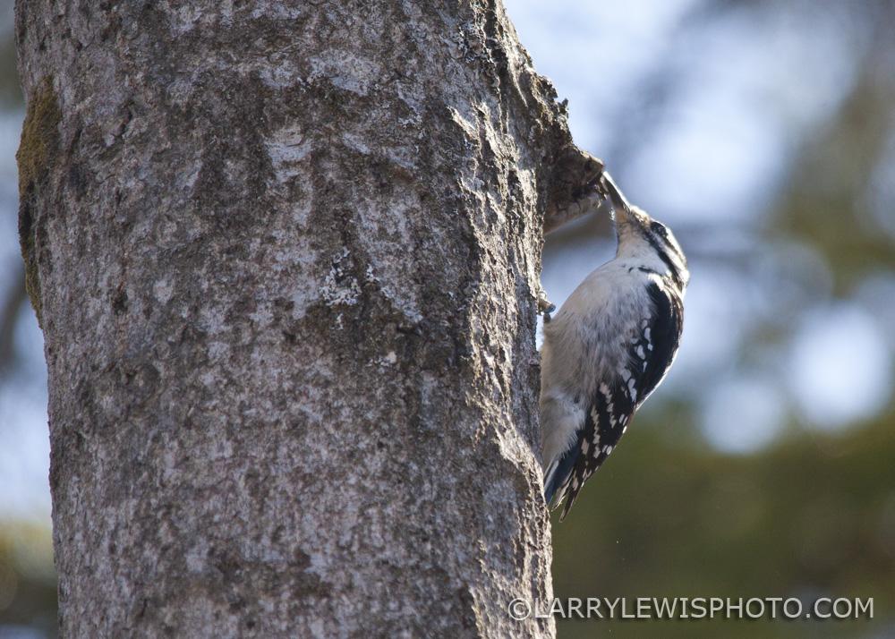 Downy_Woodpecker03.jpg