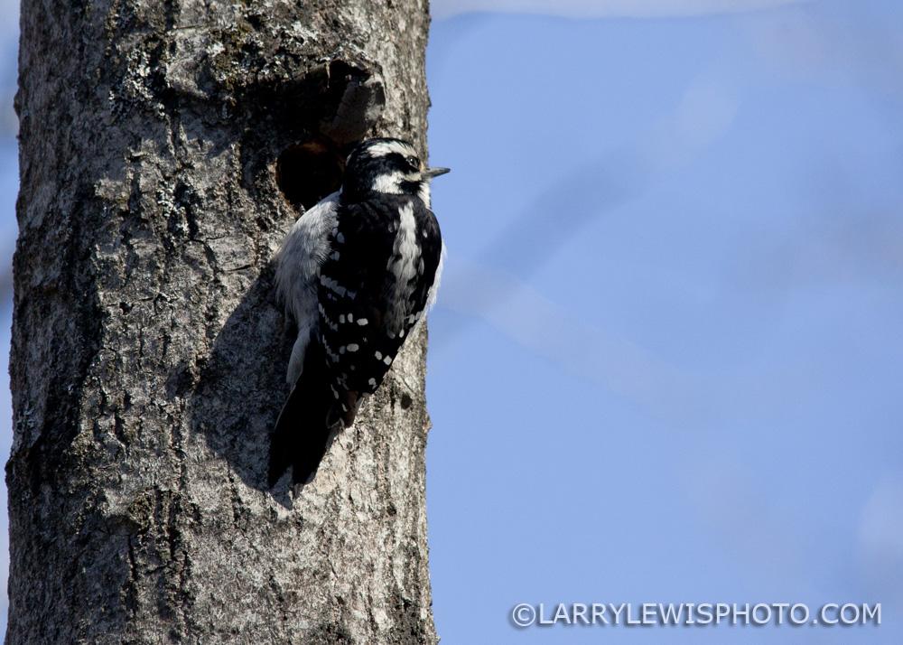 Downy_Woodpecker08.jpg