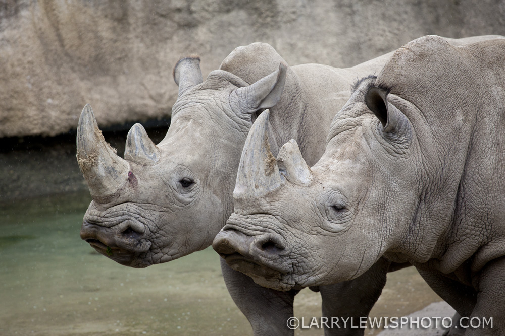 A rainy day at The Zoo. The Rhinos don't mind.