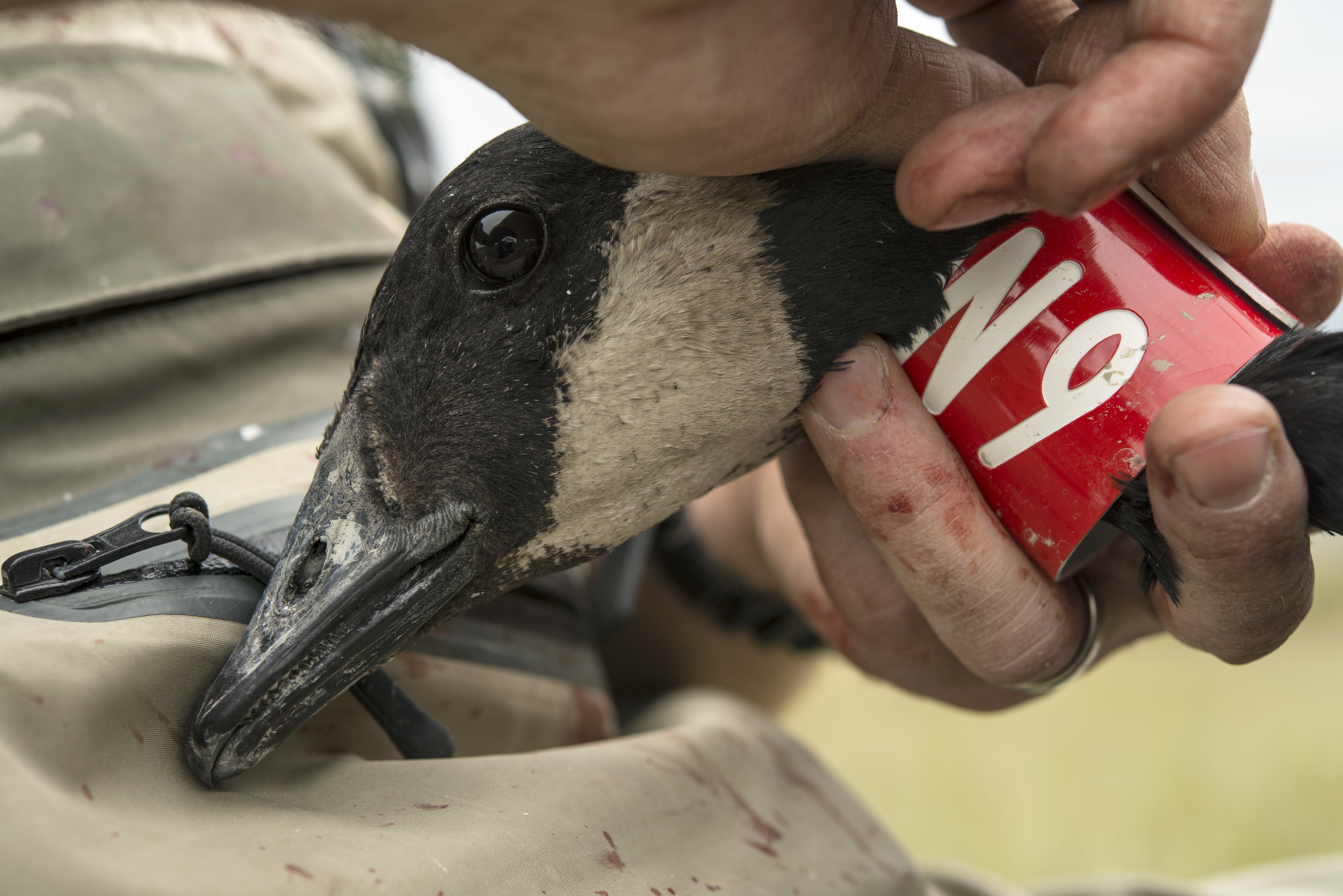 The dusky Canada goose population has decreased in recent years, due to a changing habitat type on the Copper River Delta.   Red collars attached to the birds are used in the wintering season for re-siting the birds.