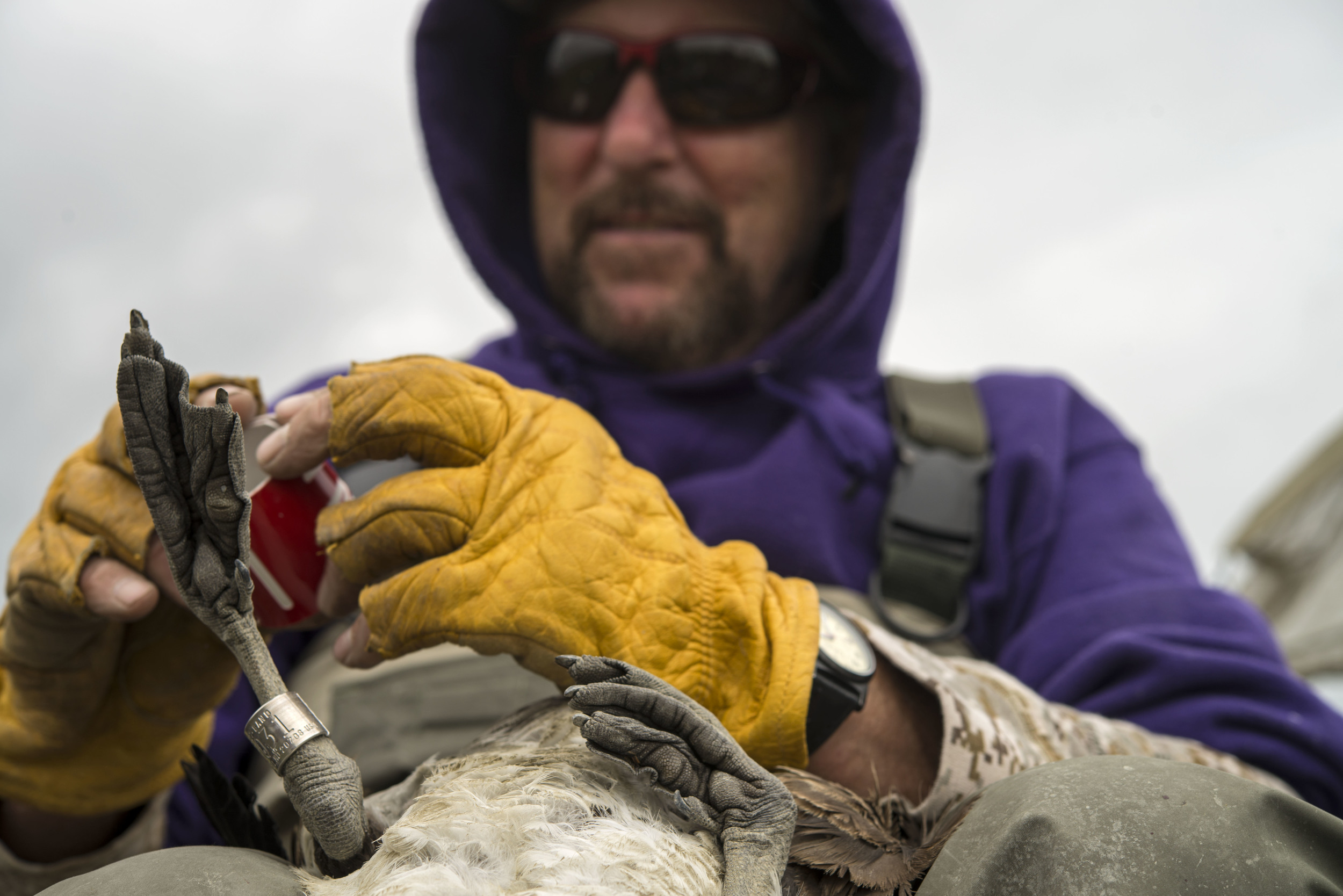 Mike Petrula prepares a red collar to attach to a goose's neck.