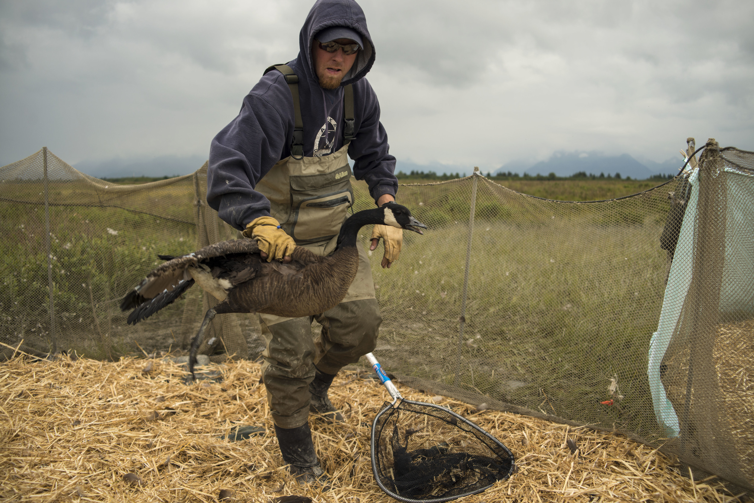 A volunteer uses a net to catch a goose from the holding pen for banding. The process continues for several hours each day.