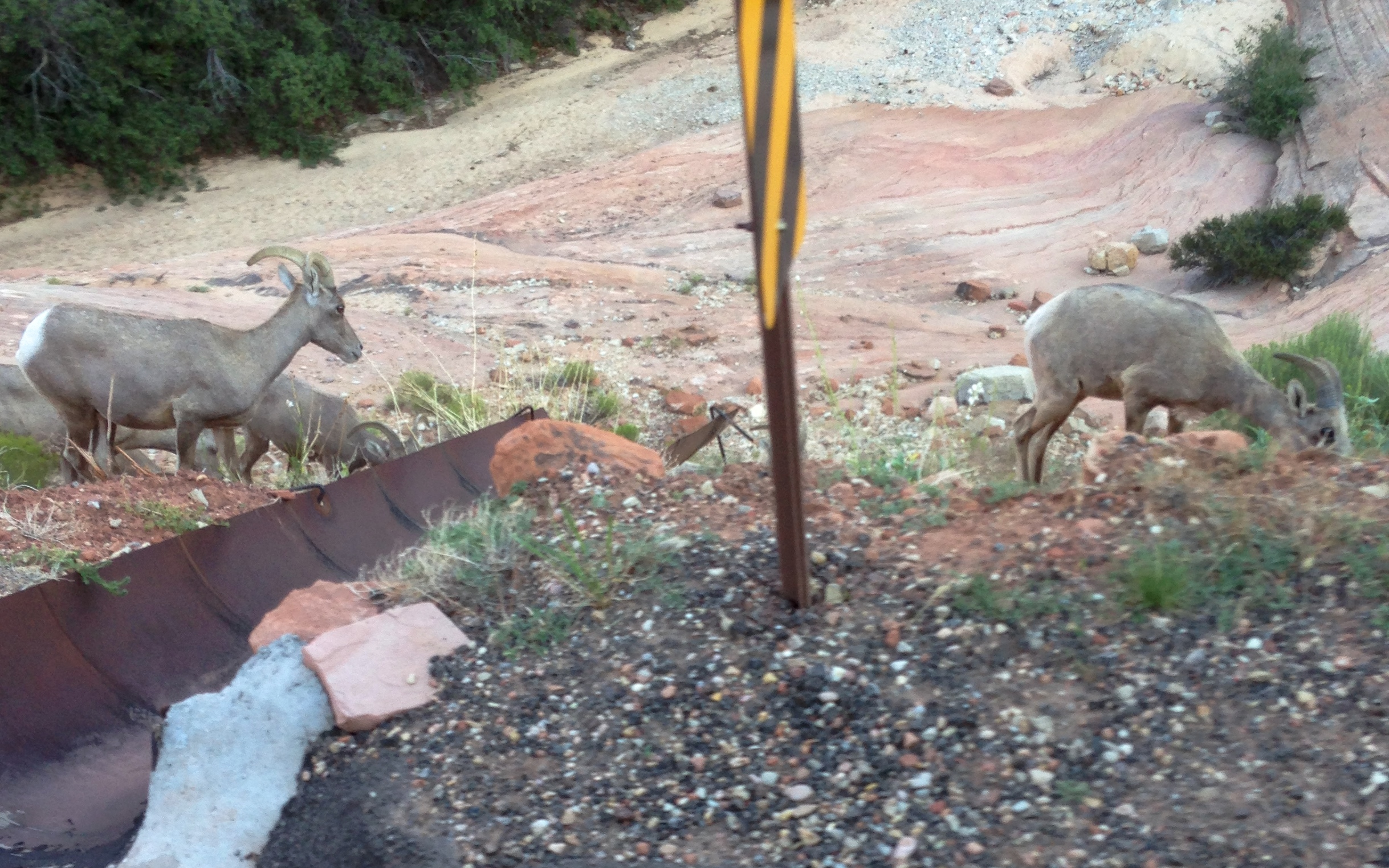 what happens when we pass Bighorn Sheep but Sean has to take the photos...