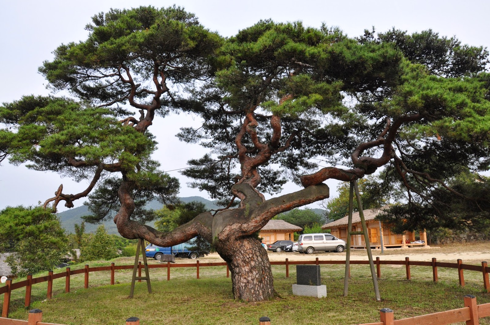 This tree is said to have a goddess living in it.