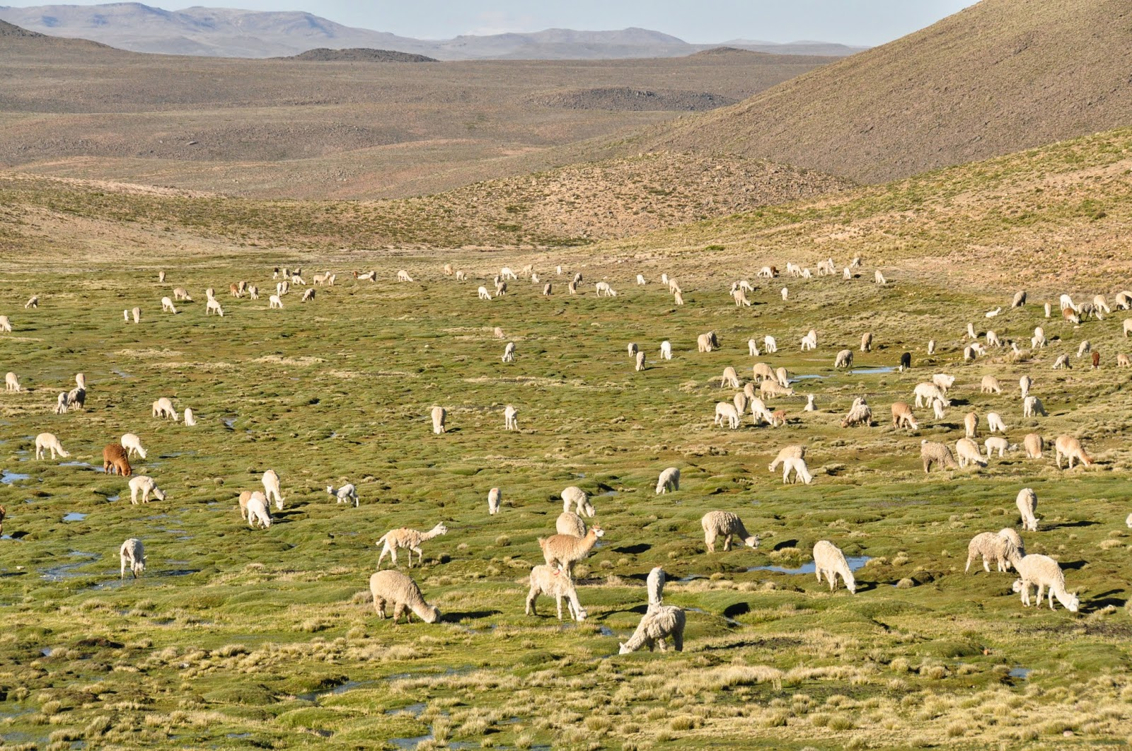How many llamas can you spot? Correct answer: NONE! These are all alpacas!