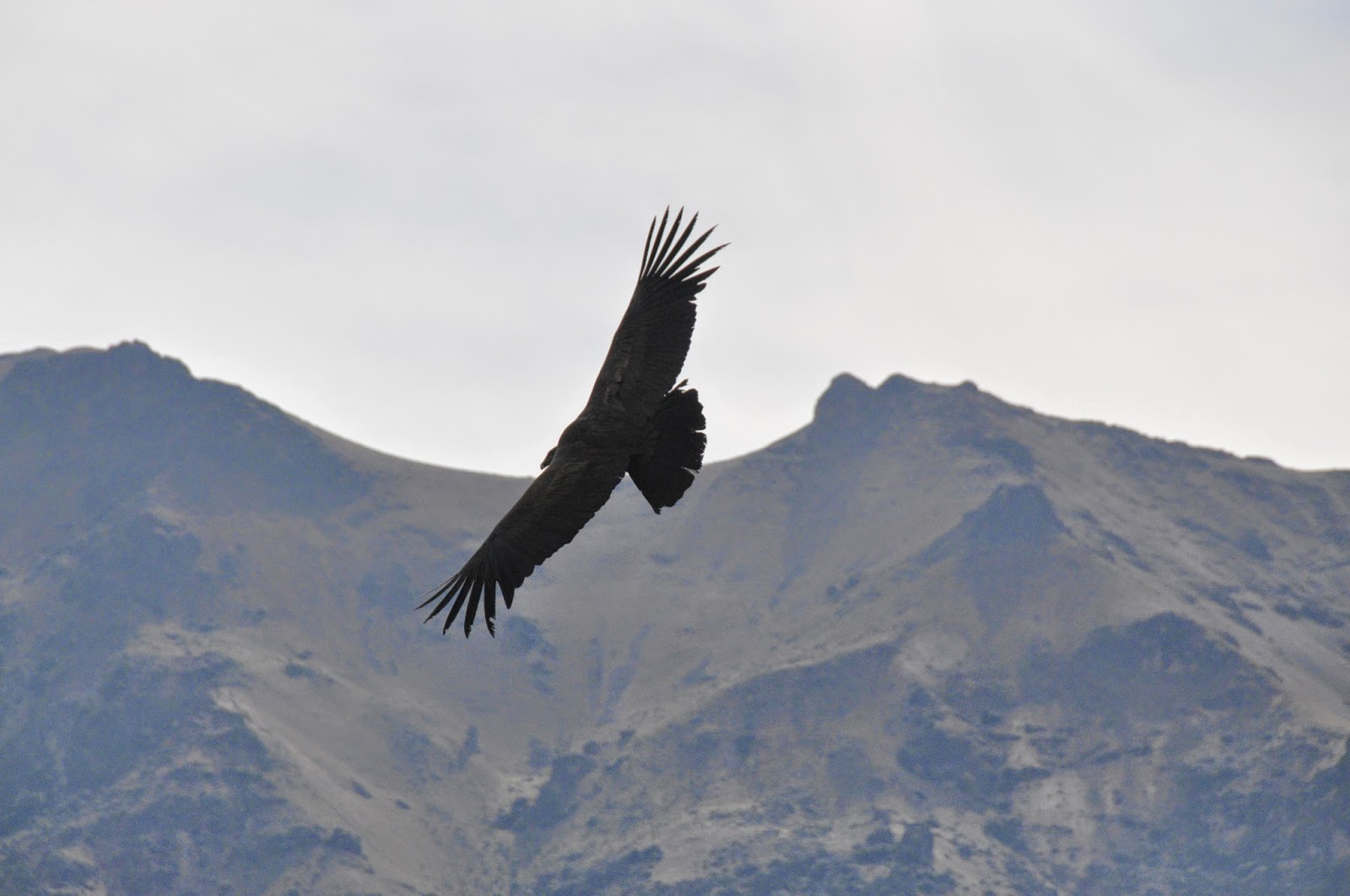 Condor Colca Canyon Peru