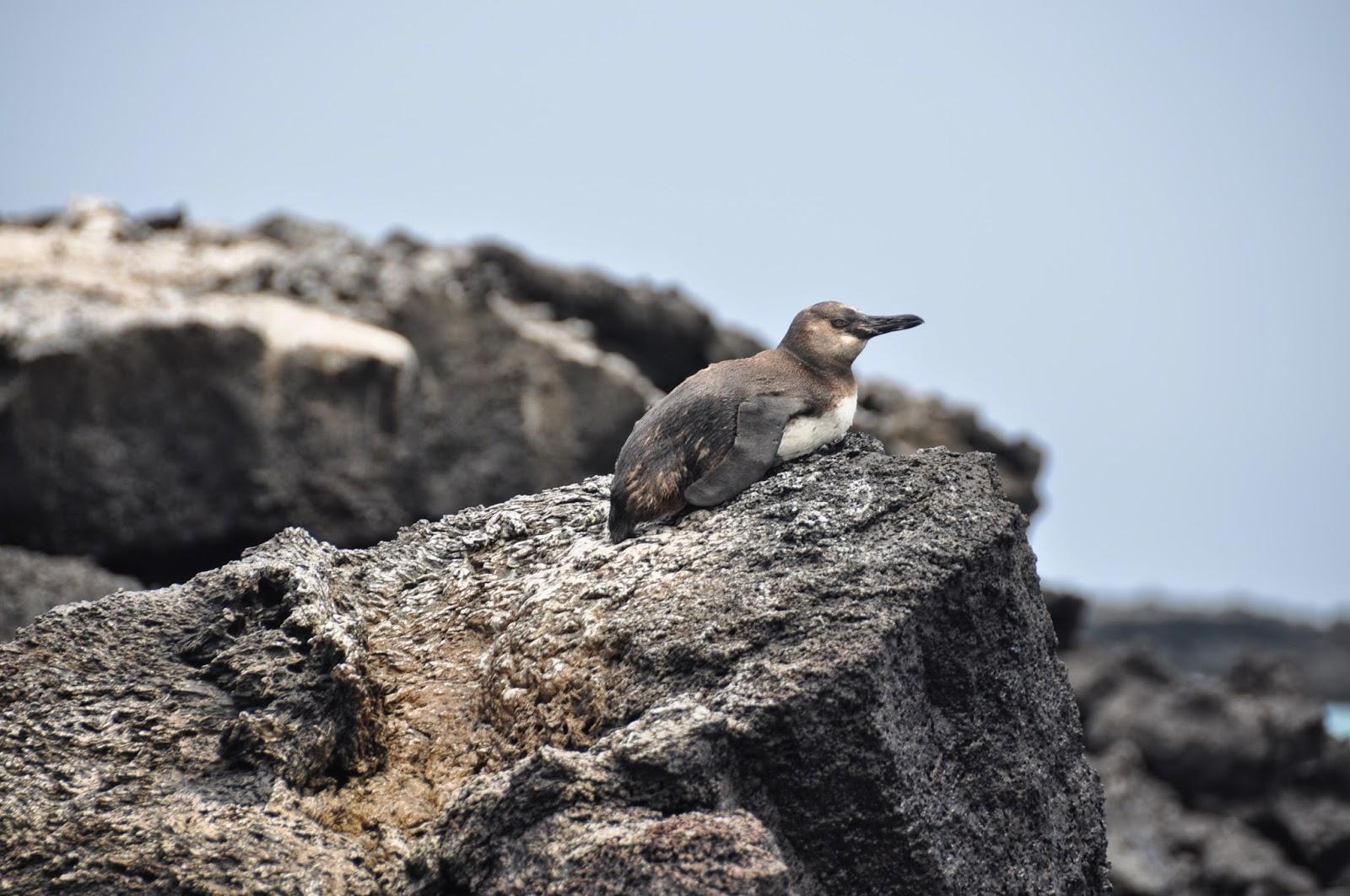 A Galapagos penguin!