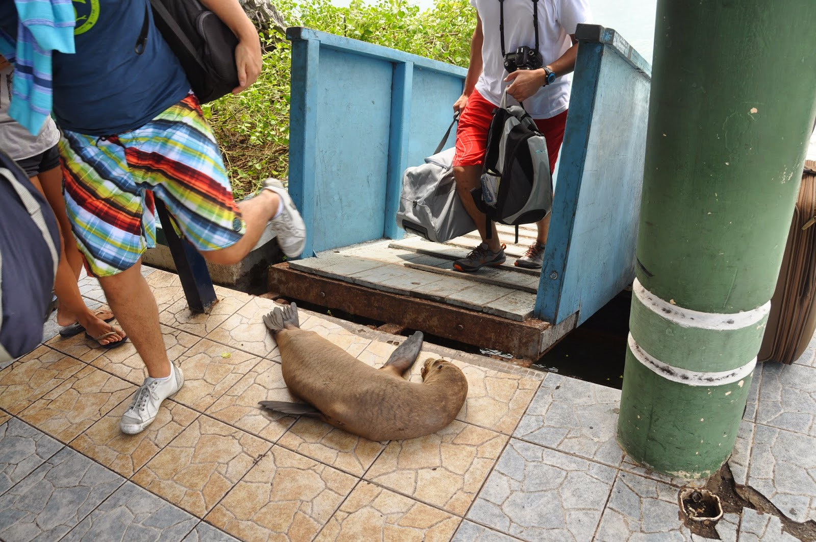 After getting off the ferry from the airport, we had to step over a sleeping little sea lion. Welcome to the Galapagos!