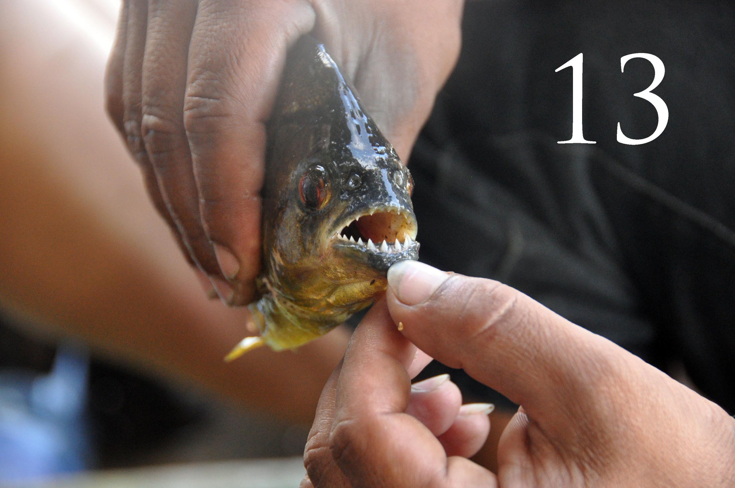 Amazon Piranhas