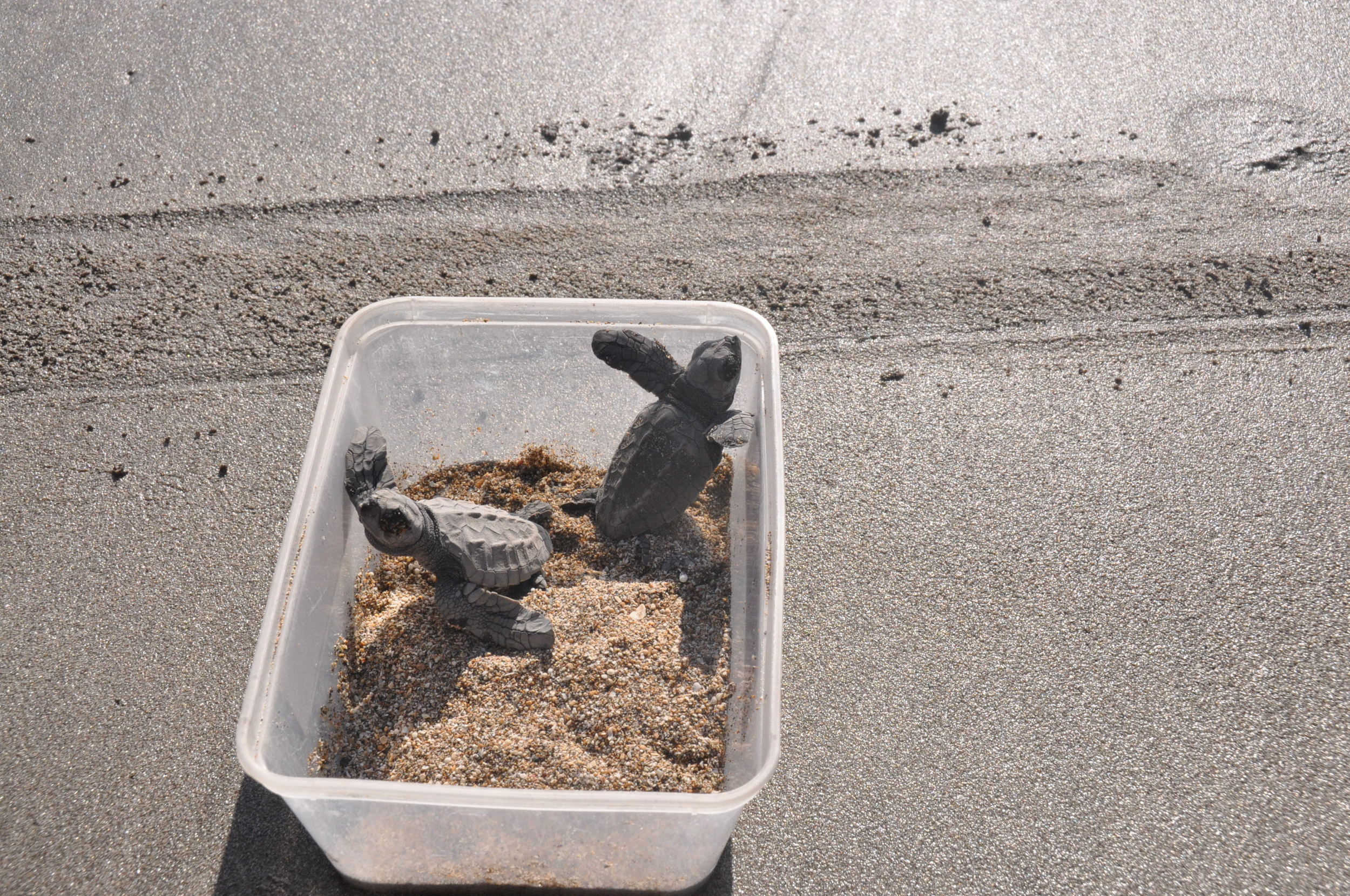 Releasing baby sea turtle Kuta Sea Turtle Conservatory