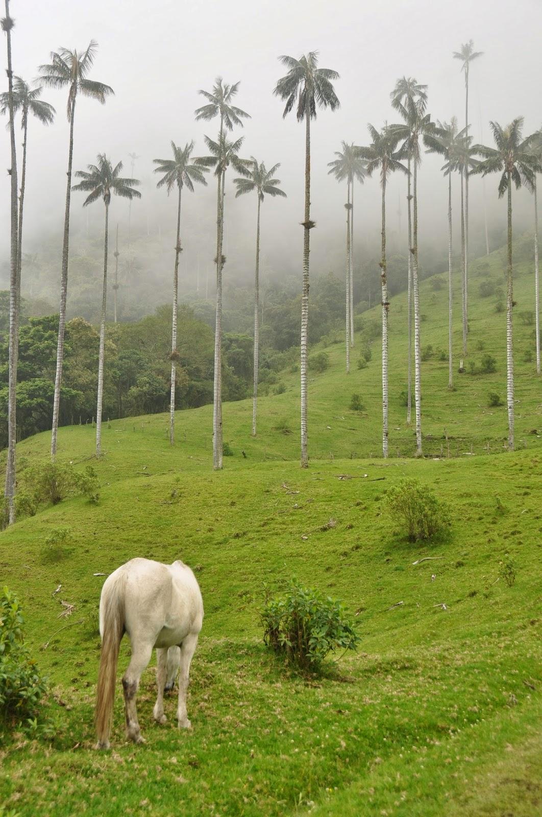 Valle De Cocora White horse Salento Colombia
