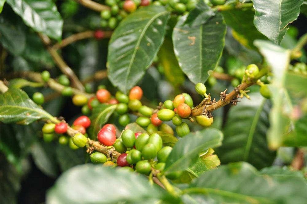 Coffee Farm Finca El Ocaso Salento Colombia