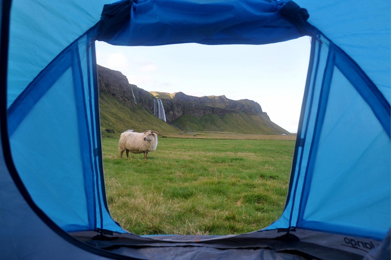 Tent Camp vs Campervan Iceland Tent Sheep