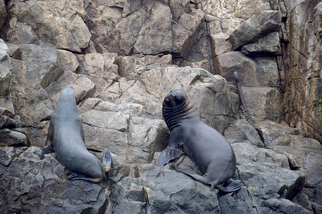 Things to Do in Peru: Sea Lions in Lima