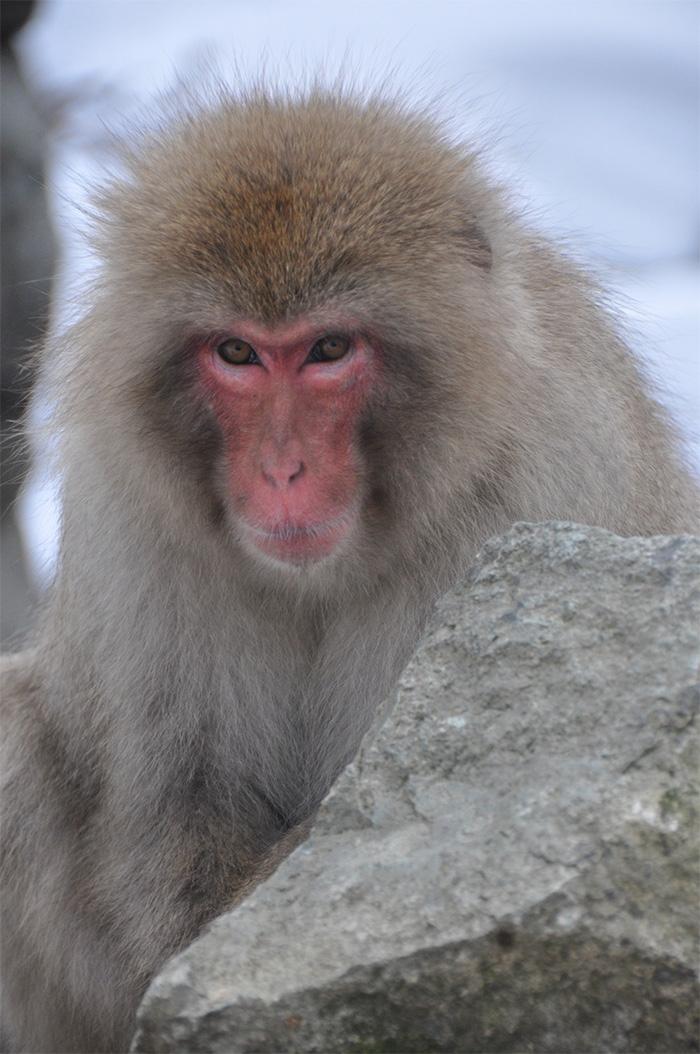 Jigokudani Snow Monkey Park Japan