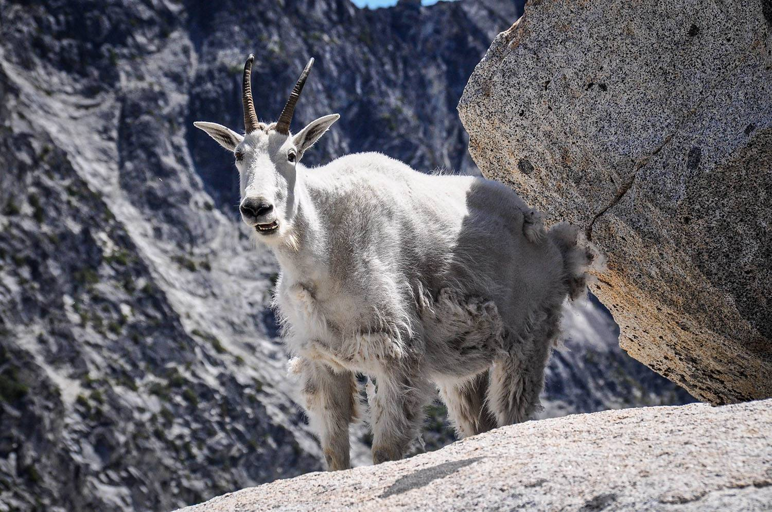 Best Things to Do in Washington State Enchantments Mountain Goat