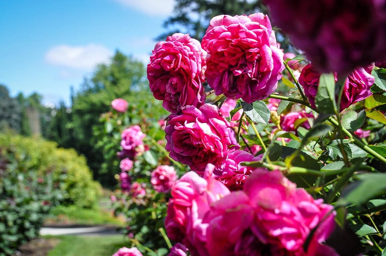 Things to do in Portland Oregon Rose Garden