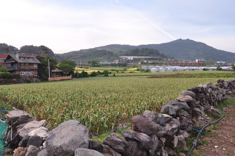 Garlic Field Near Doldam Guesthouse Jeju Korea