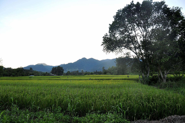 Pai Thailand Rice Field