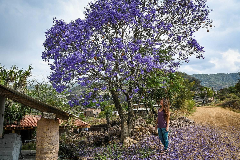 Hiking in Oaxaca's Sierra Norte Villages Flower Tree
