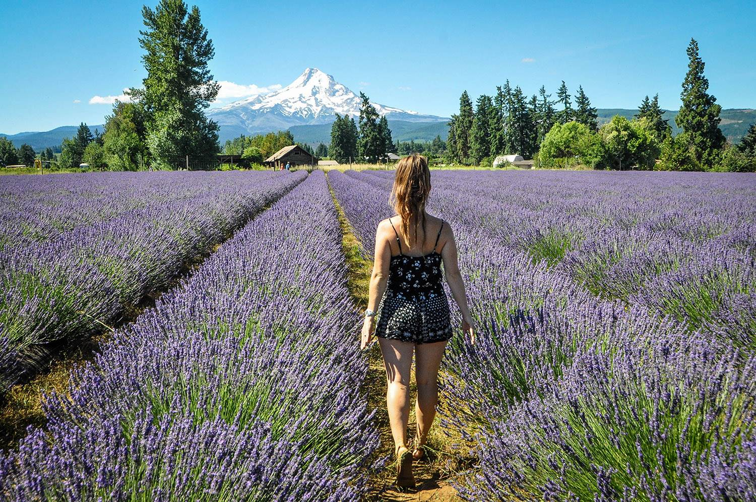 Things to Do in Oregon Mount Hood Lavender Field