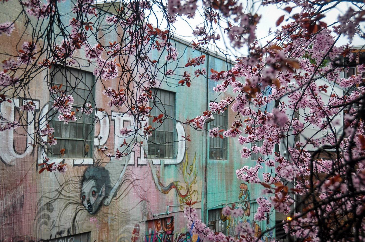Best Things to do in Seattle Cherry Blossoms