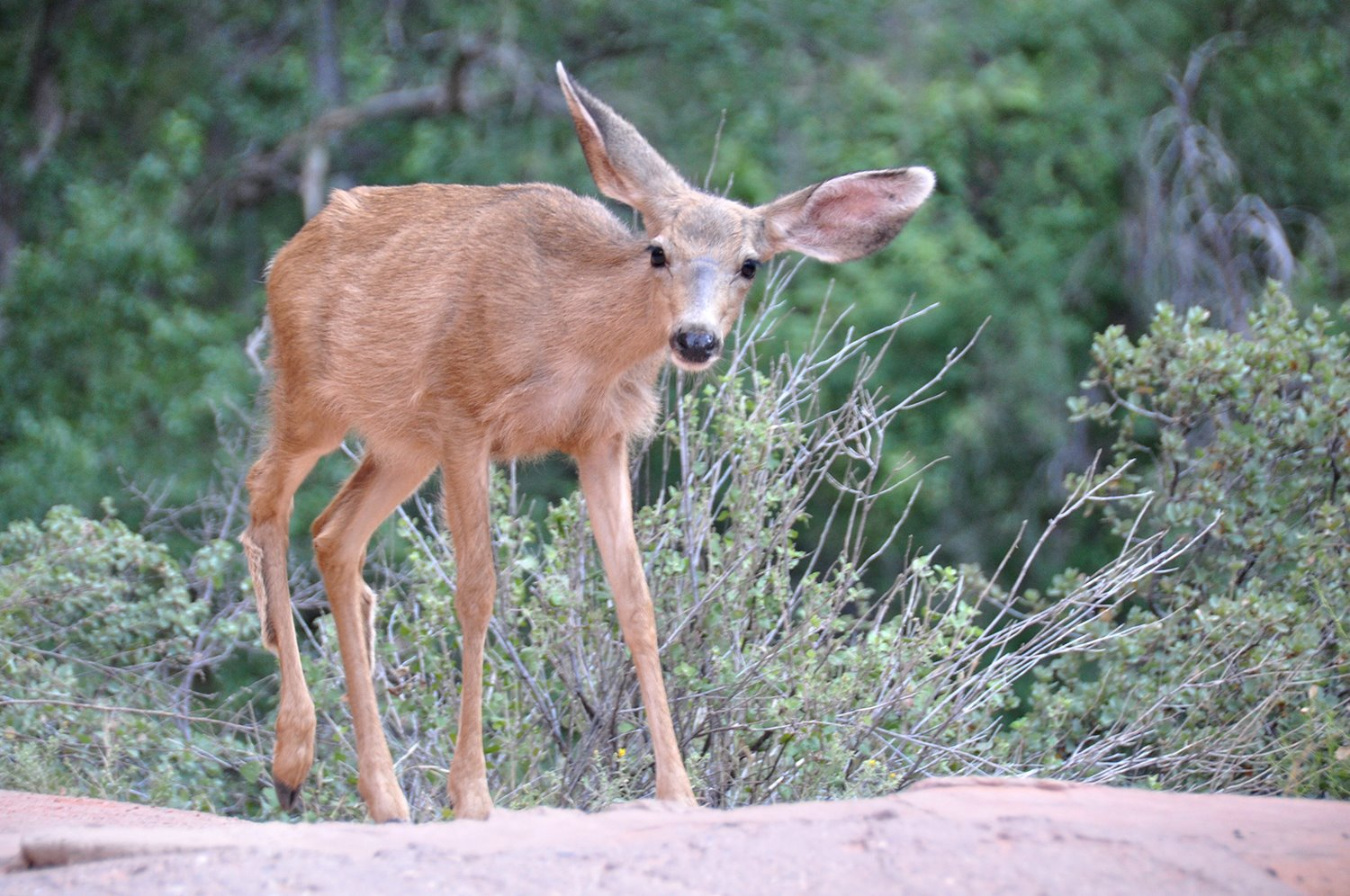 Deer Zion National Park