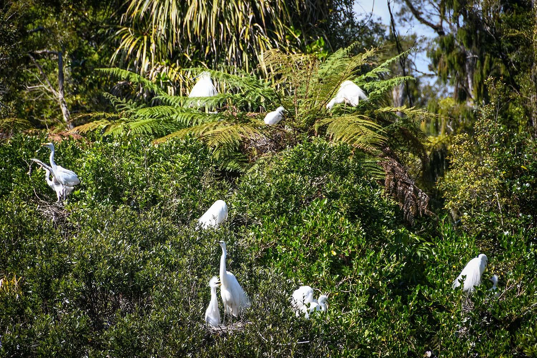 Things to Do in West Coast NZ White Heron Kokotu