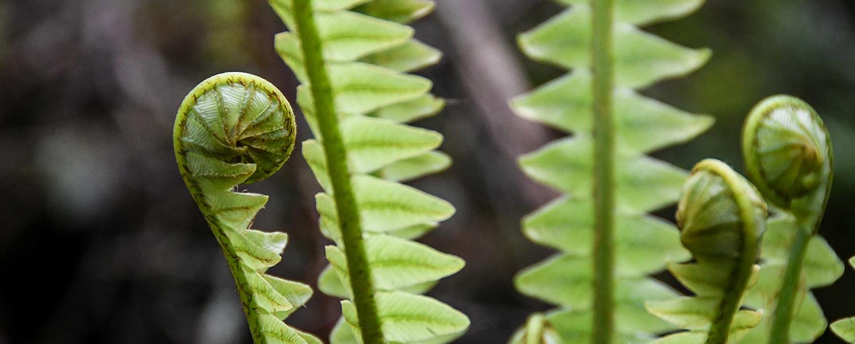 New Zealand Travel Guide Spiral Koru Ferns