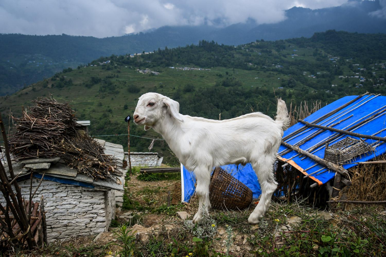Mohare Danda Trek Baby Goat
