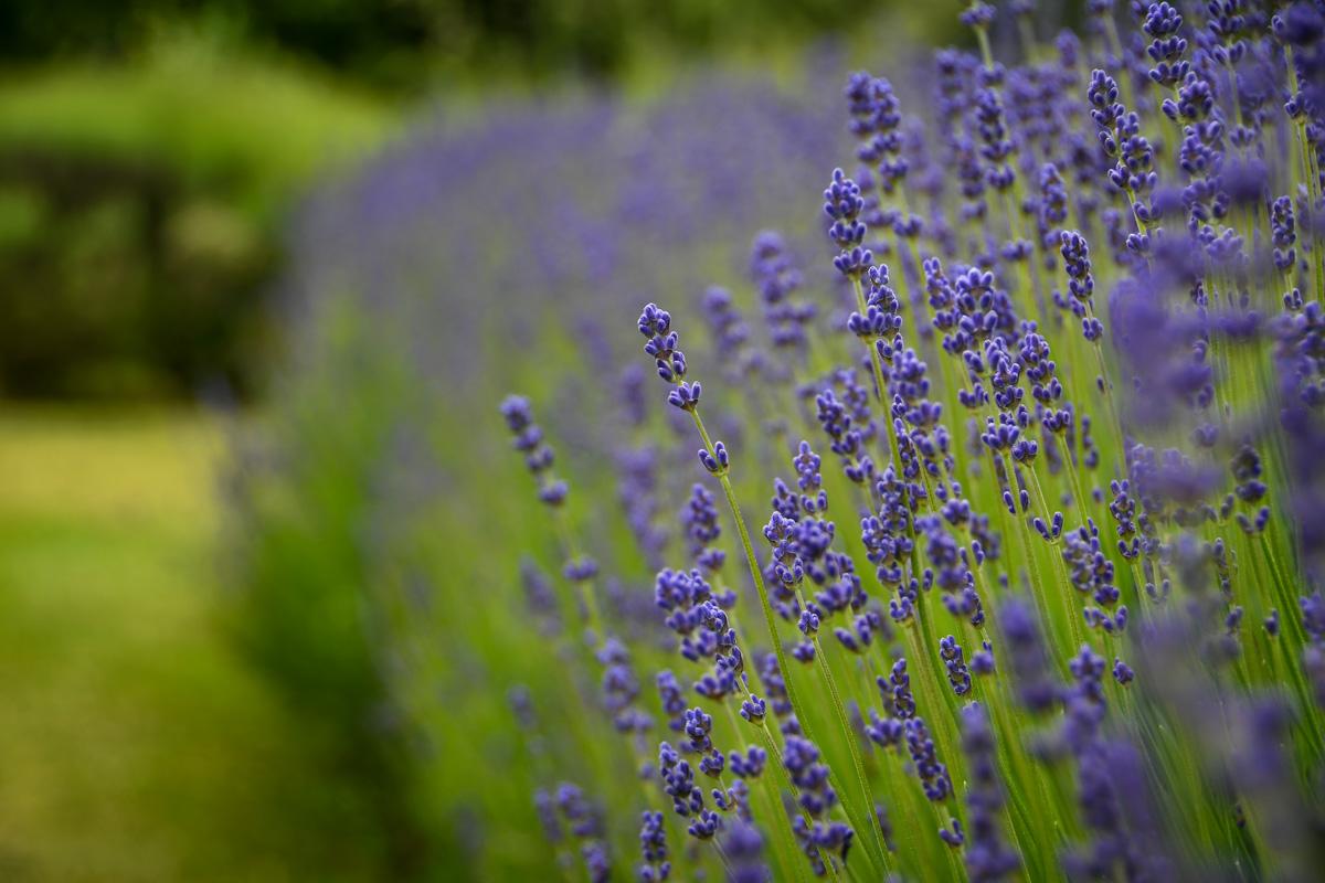 Olympic National Park Lavender Sequim Washington