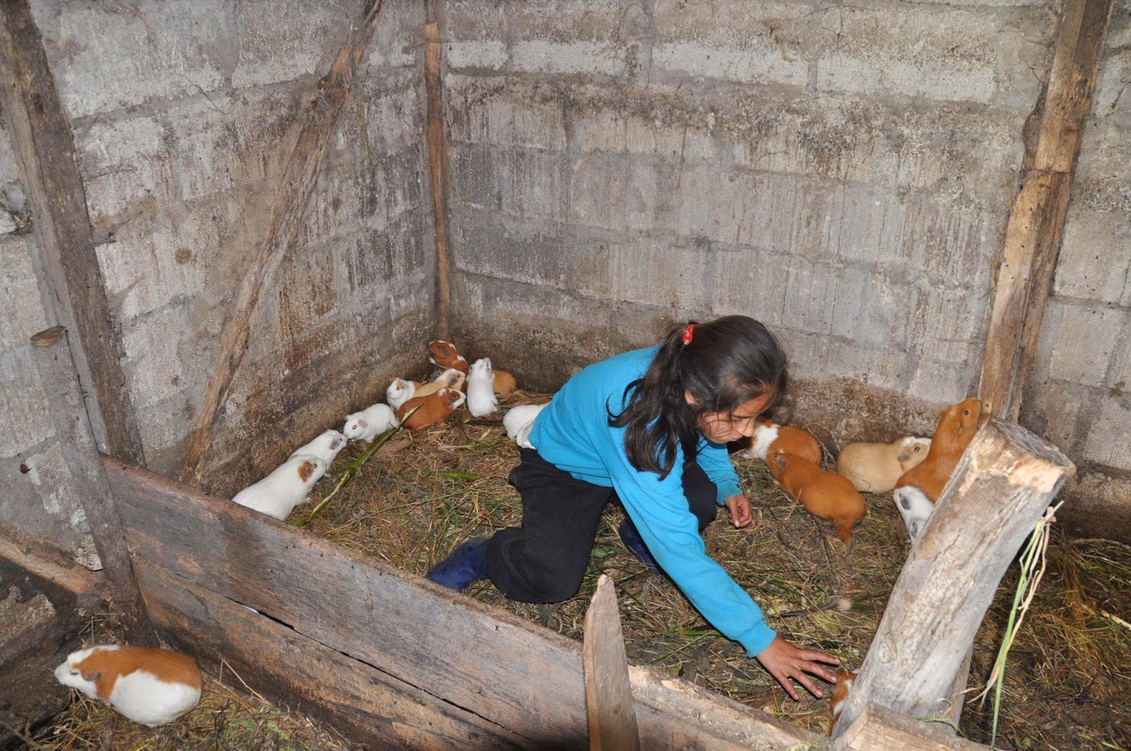 Guinea Pig Farm Banos Ecuador