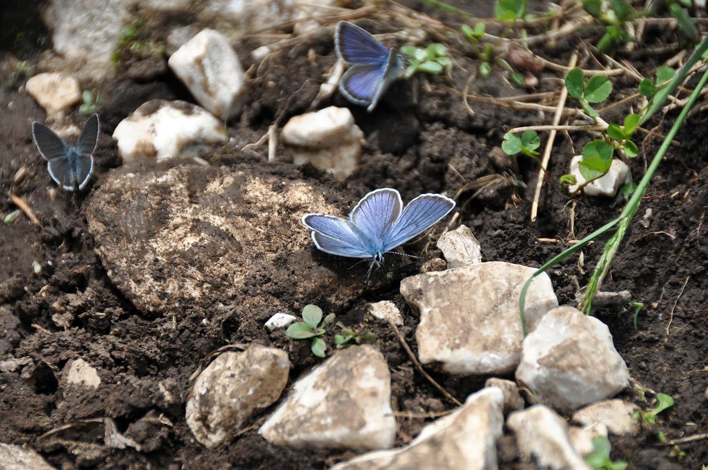 Blue Butterfly Zabljak Montenegro