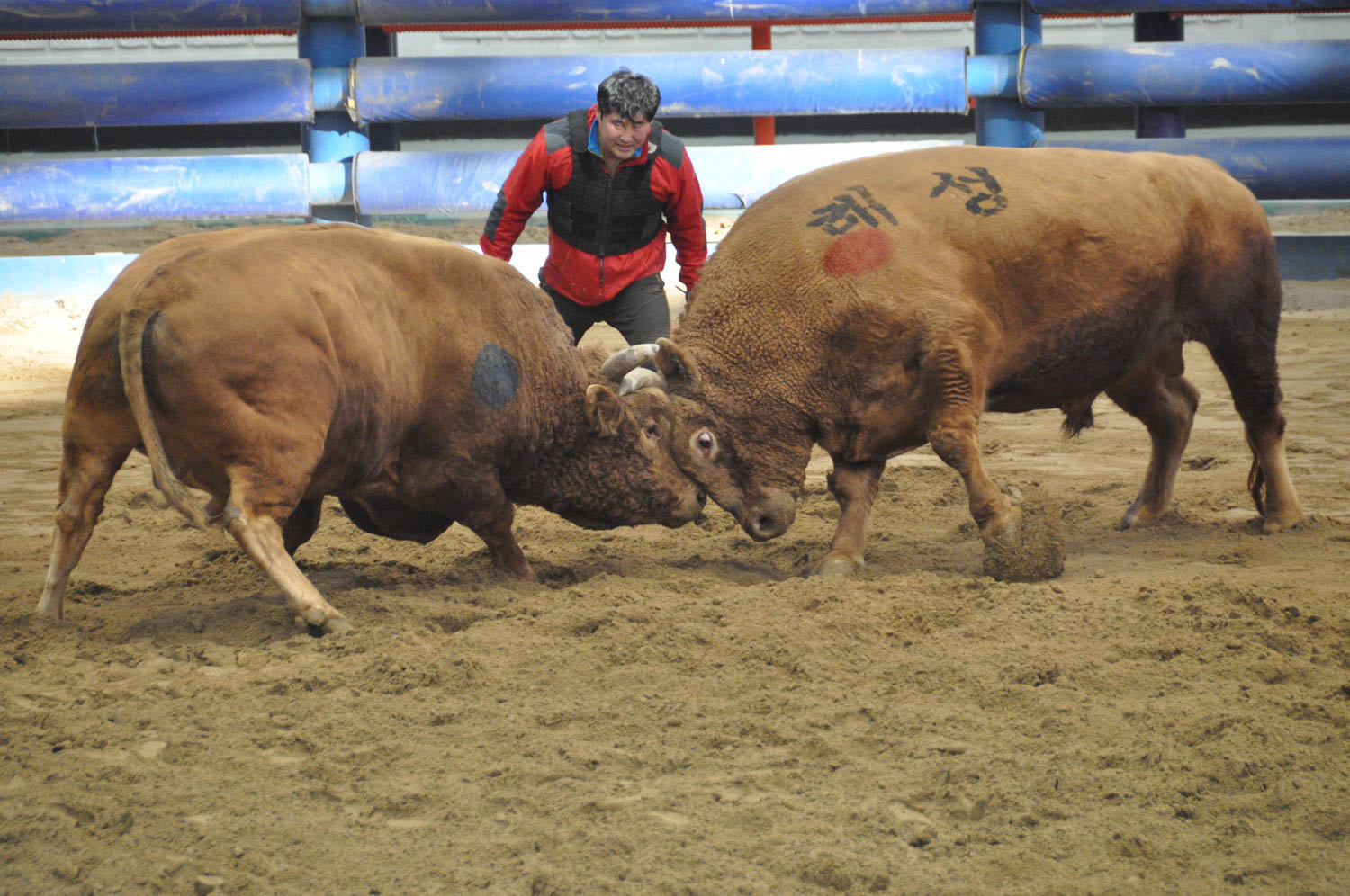 One of the matches ended just seconds after it began, yet the last pair of bulls was fighting for more than twenty minutes.