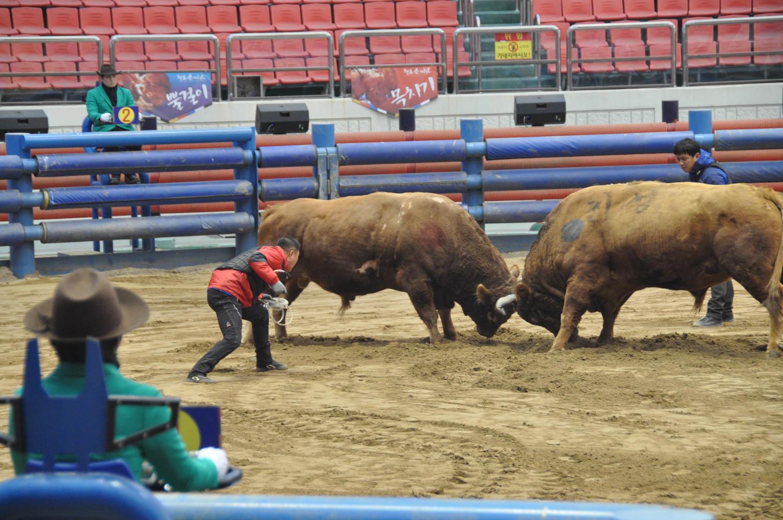 Korean Bullfighting Cheongdo