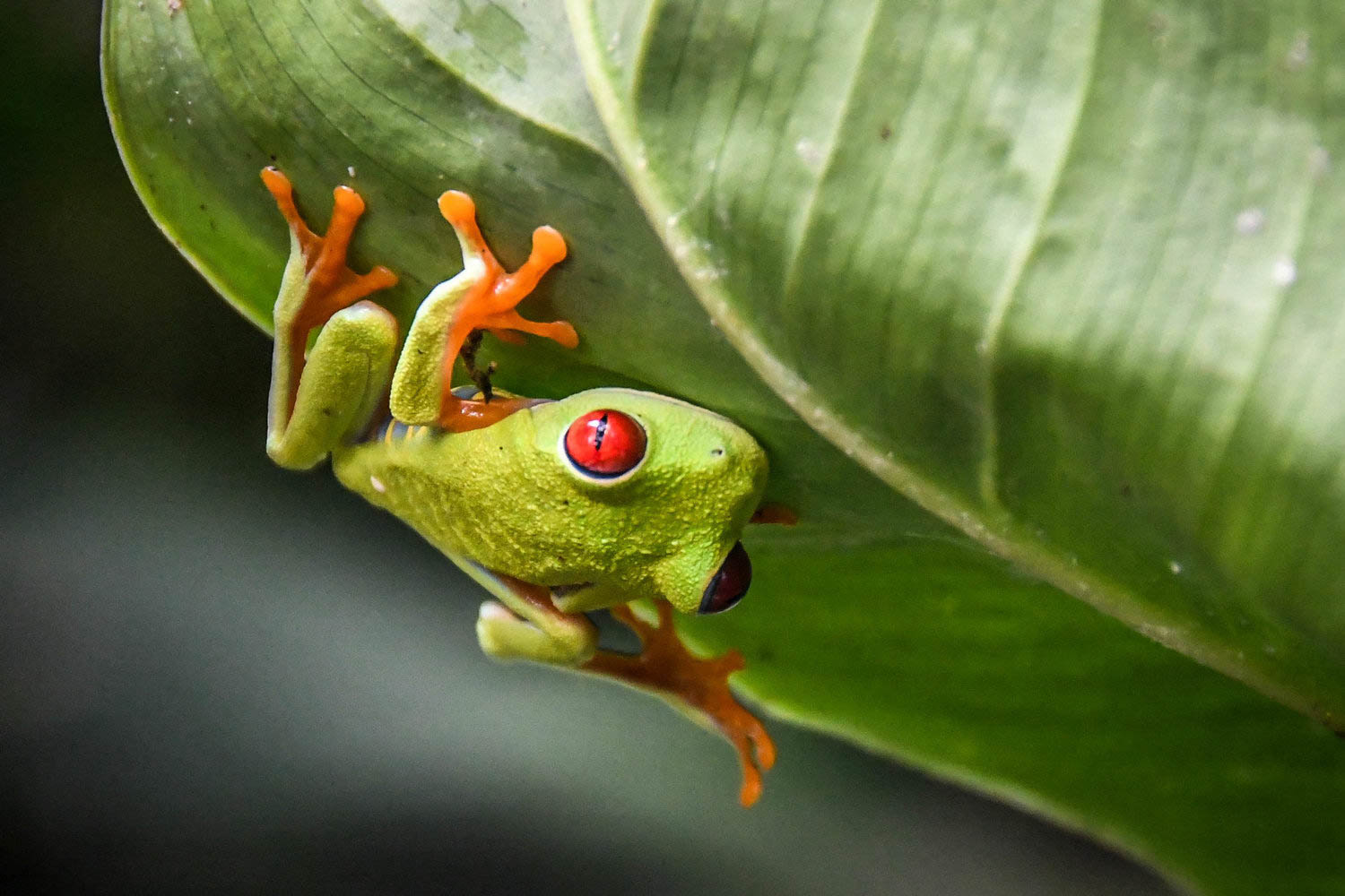 Countries to Teach English Costa Rica frog