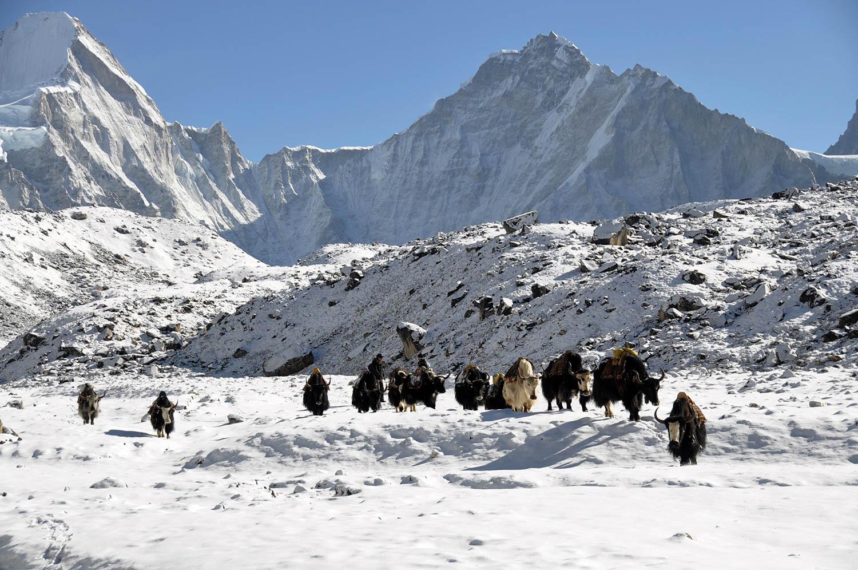 Snow yaks