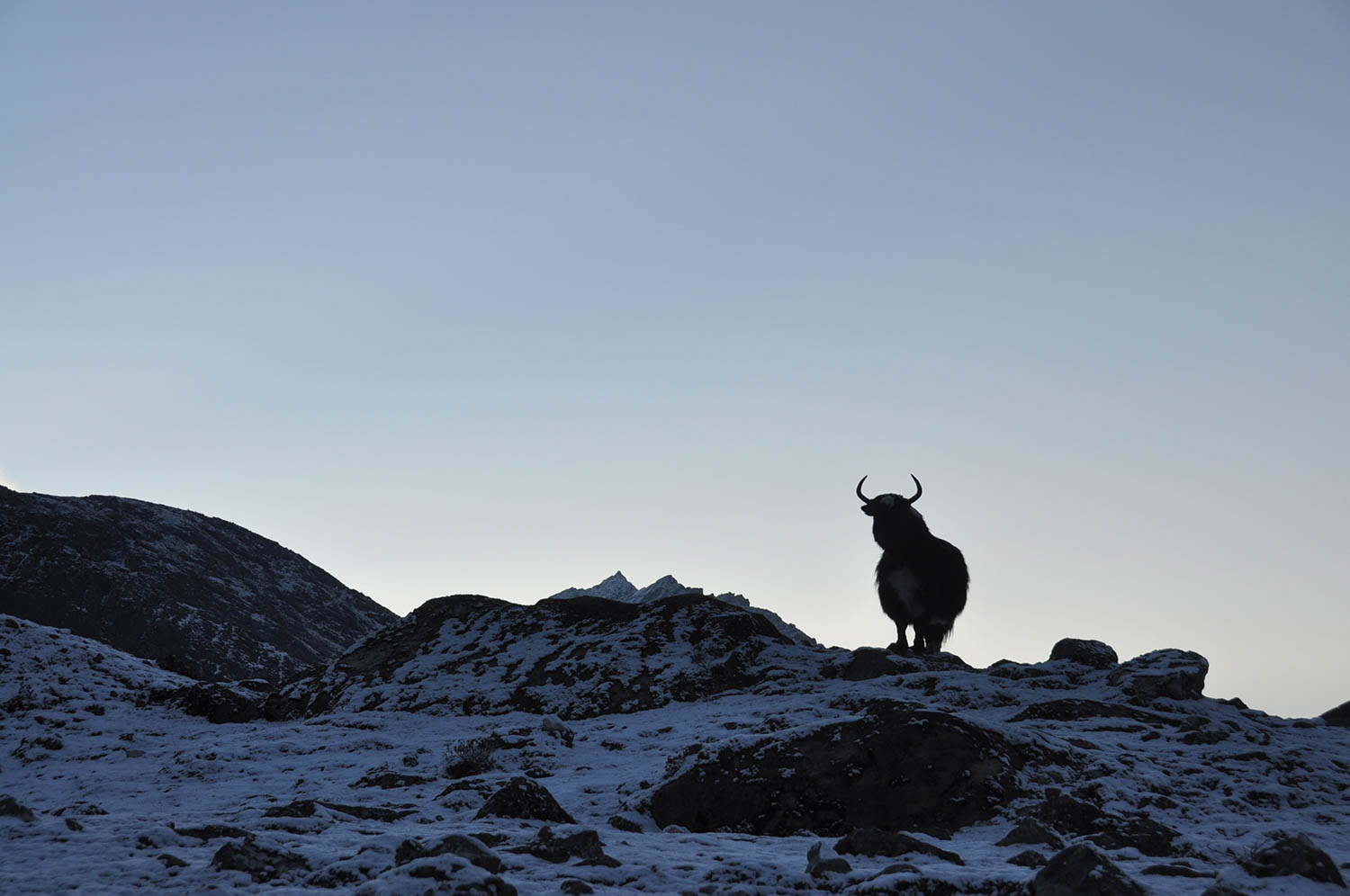 Silhouetted yak