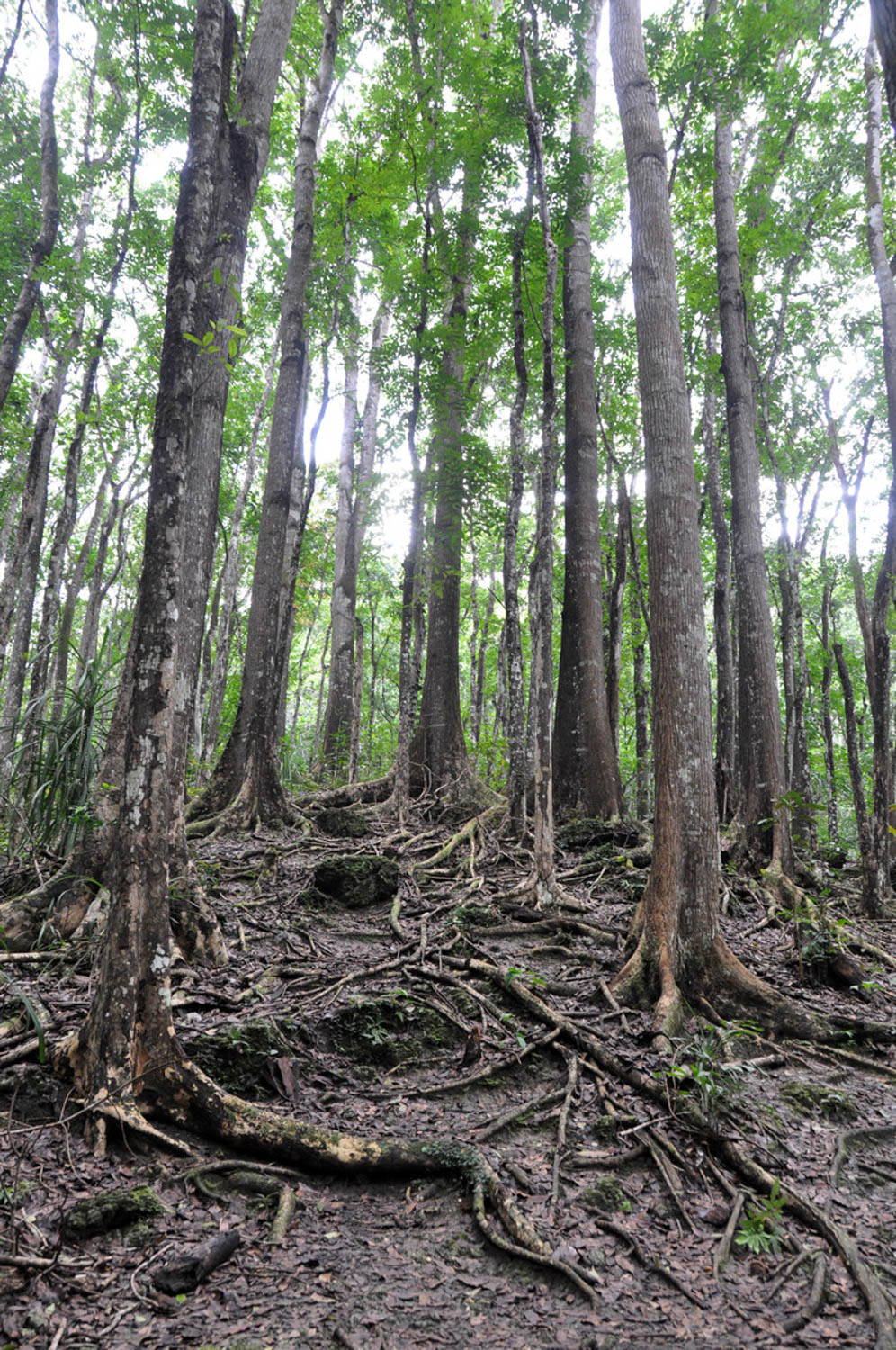 Philippines man made forest