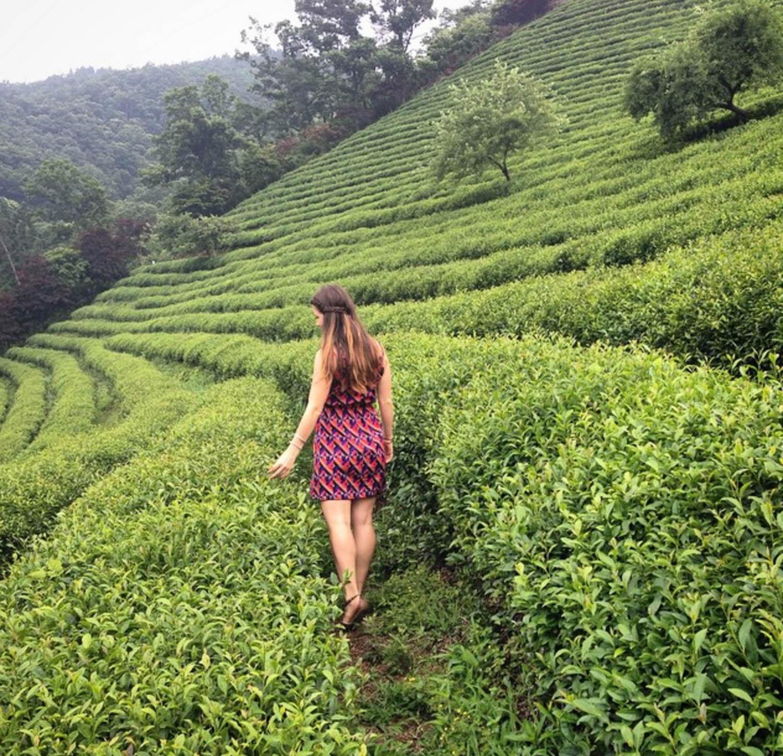 Green Tea Fields Boseong South Korea
