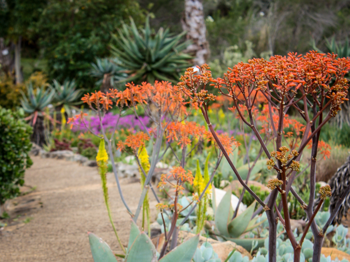Things to Do in Cape Town   Kirstenbosch Botanical Gardens