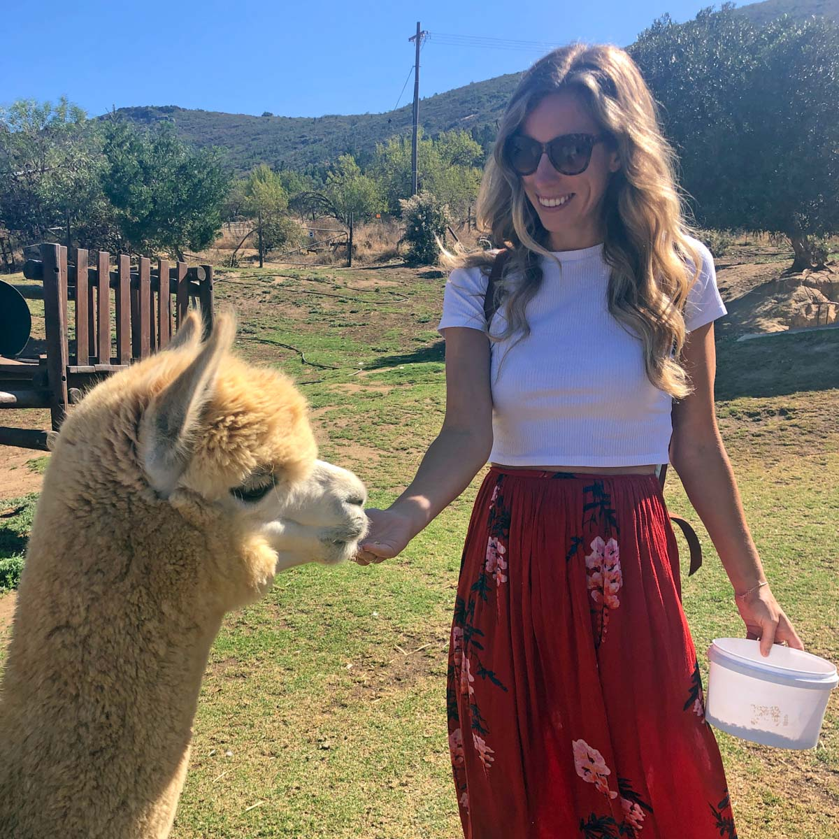 Things to do in Cape Town   Alpaca Farm