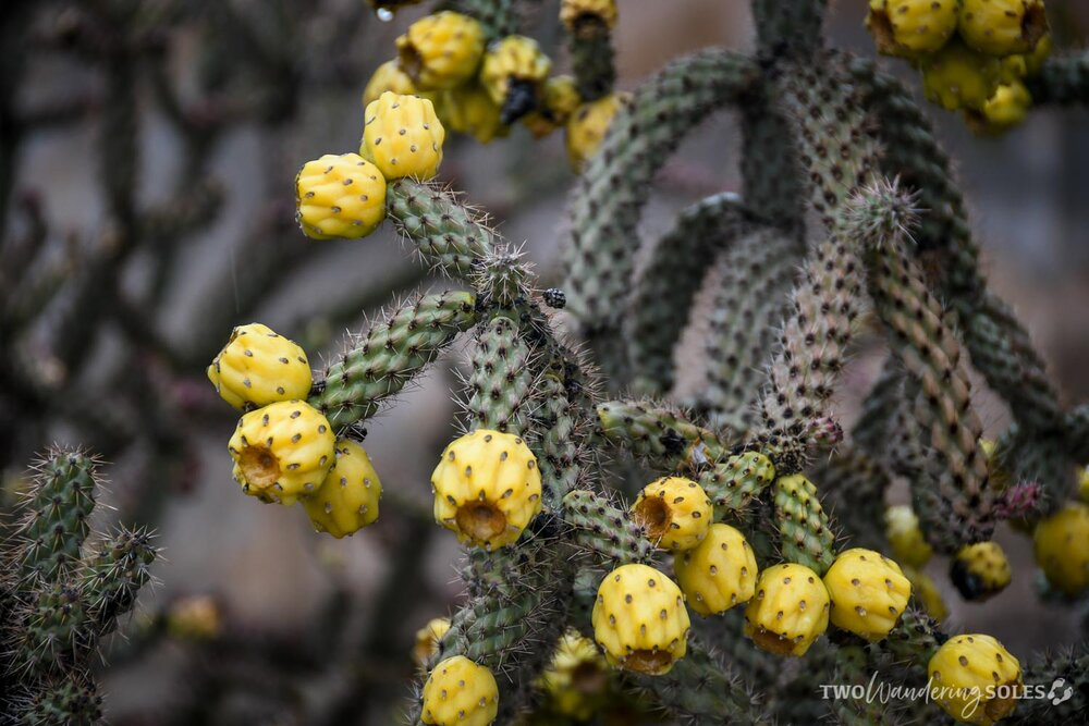 Things to do in Tucson Cactus Fruit