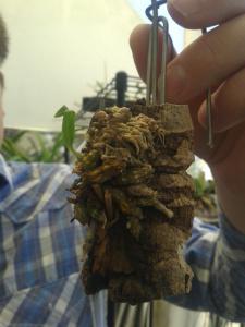 Dendrobium wangliangii