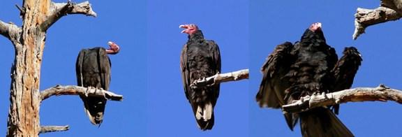 vulture_grooming.jpg