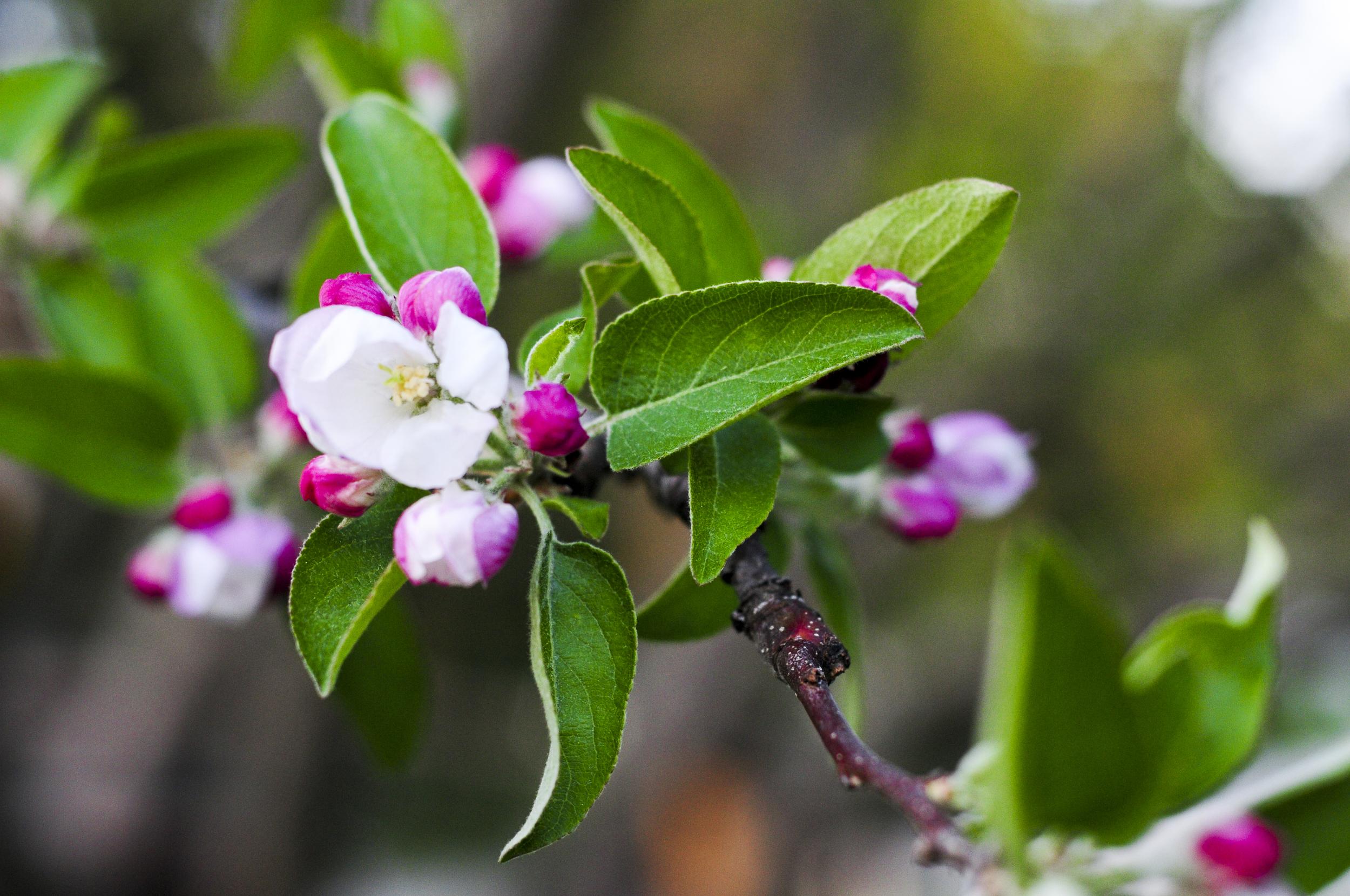 a.big.flower.apple.tree.summer.outside.garden.DSC_7282.jpg