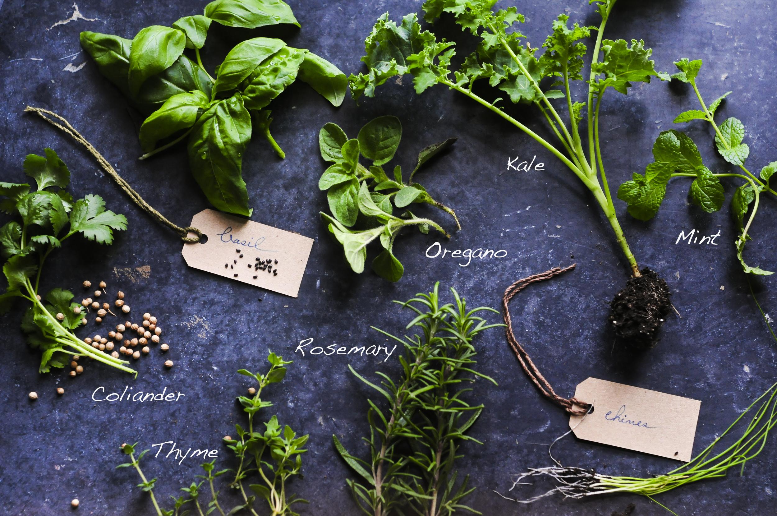 a.big.name.herbs.green.kale.basil.oregano.chives.coliander.DSC_6869.jpg